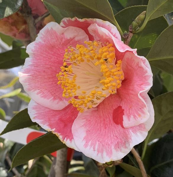【現品】椿(ツバキ) 春霞(ハルガスミ) 1.5m 30239 《庭木や鉢植えとして人気な椿の苗木・植木》