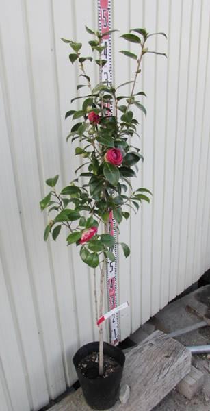 【現品】椿(ツバキ) 至宝(シホウ)樹高1.1m 32304 (g8)《庭木や鉢植えとして人気な椿の苗木・植木》
