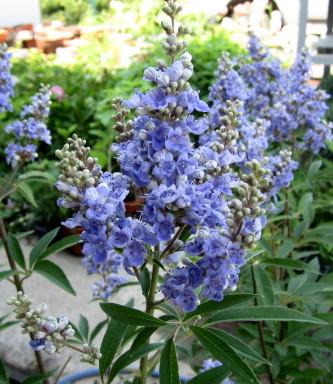 セイヨウニンジンボク 紫 大株 1.1~1.2m《落葉樹 庭木》