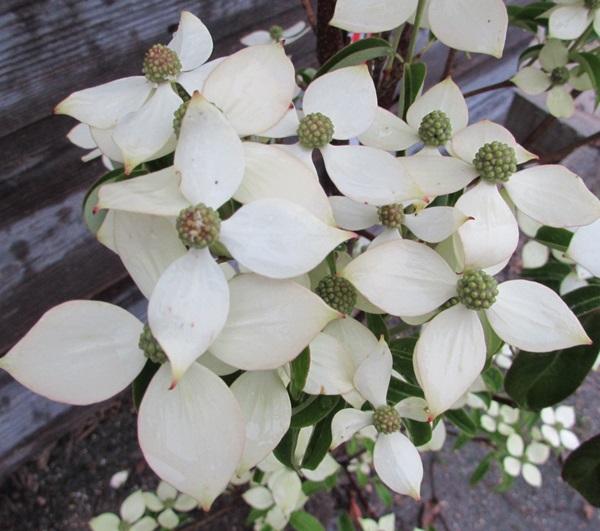 chigusa evergreen dogwood cornus kousa moonlight 1 3 m 52110