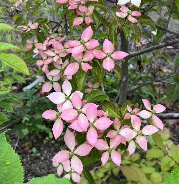 常緑山法師(常緑ヤマボウシ) レッドムーン(赤花) 苗木 5号 (k2)