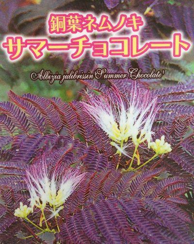 【現品】ネムノキ サマーチョコレート 8号ポット植え 1.3m 02