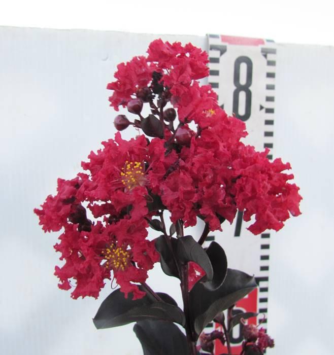 【現品】サルスベリ(百日紅)  ブラックパール レッド 1.7m 7251