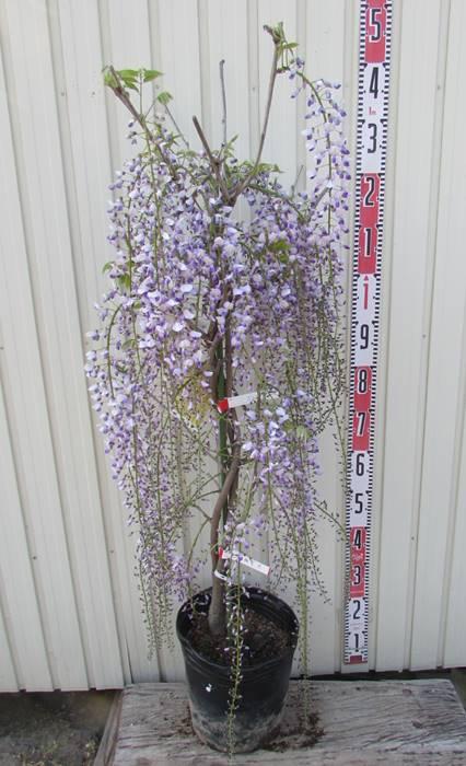 花藤(ハナフジ)苗 紫長藤(ムラサキナガフジ) 9号 50202(a)
