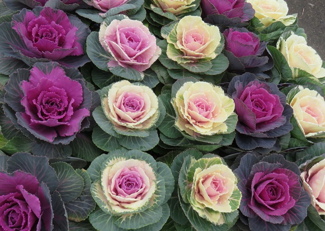 Chigusa Ten For Ornamental Cabbage Ornamental Cabbage Cut