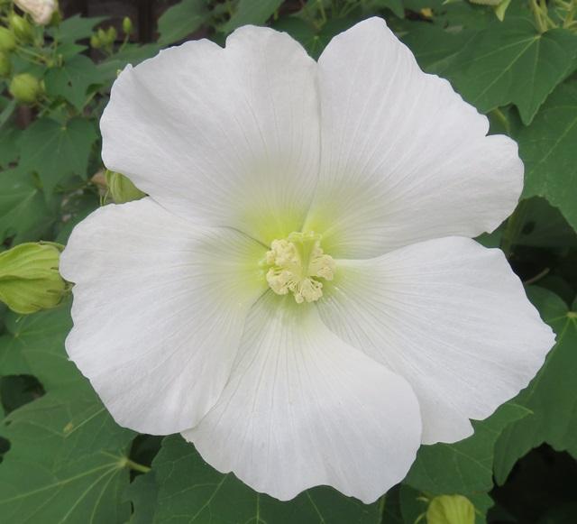 スーパーセール 鮮やかな大輪の花を咲かせる ニホンフヨウ苗 日本芙蓉苗 白花 7号苗 通常便なら送料無料 J04