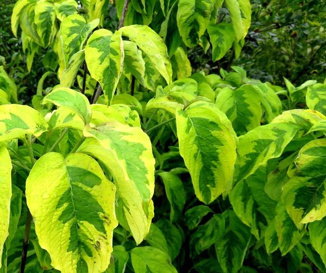 【現品】花水木(ハナミズキ)レインボー 1.4m  3219【シンボルツリーに最適な植木・苗木のアメリカハナミズキ】