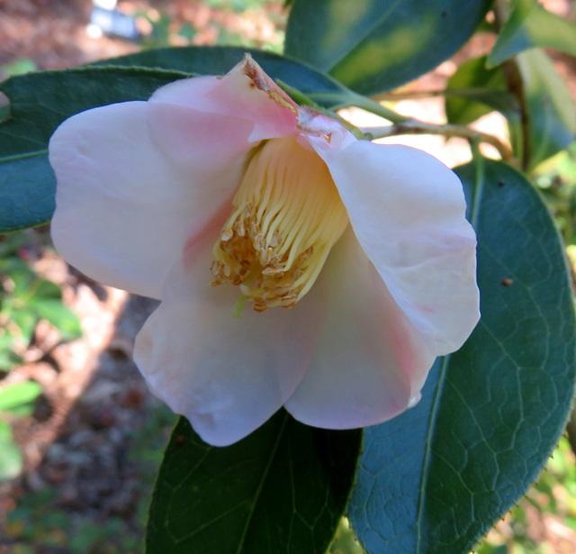 【現品】椿(ツバキ) 初雁(ハツカリ) 1.6m 21703 《庭木や鉢植えとして人気な椿の苗木・植木》