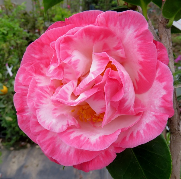 Chigusa Western Camellia Camellia Marguerite Davis Young Plant