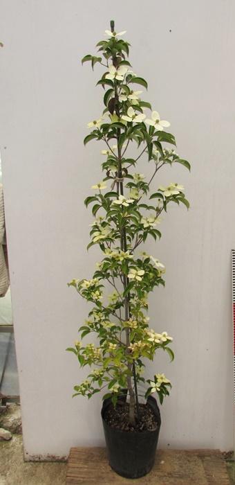 人気の常緑ヤマボウシ 花付きの良い