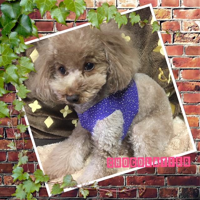 【SUSAN LANCI スーザンランシー】SILVER STARDUST ハーネス&リード Mサイズ セレブ愛用 犬用品 小型犬 超小型犬 姫系 セレブ 海外ブランド