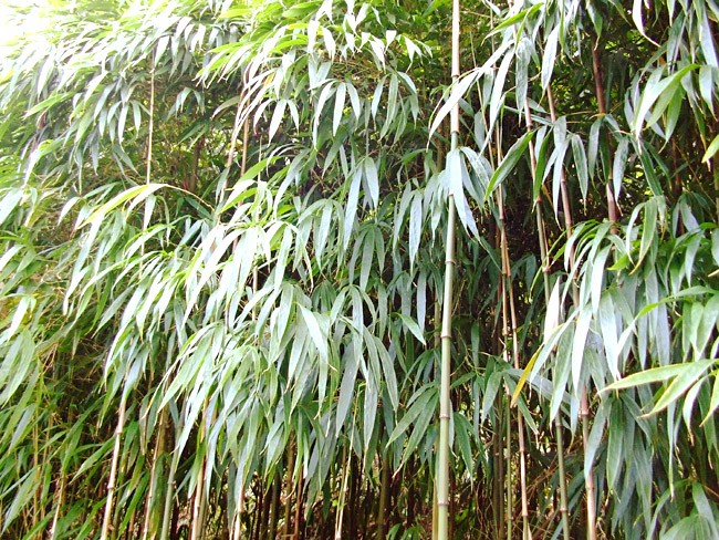 ★ four bamboo (しほうちく) approx. 500 g boiled water to Kochi from ★ boiled, fried, Tempura, etc