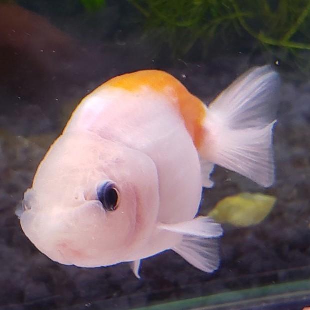 もみじらんちゅう  約6から7cm前後 1匹/金魚 生体 紅葉 ランチュウ 黒目