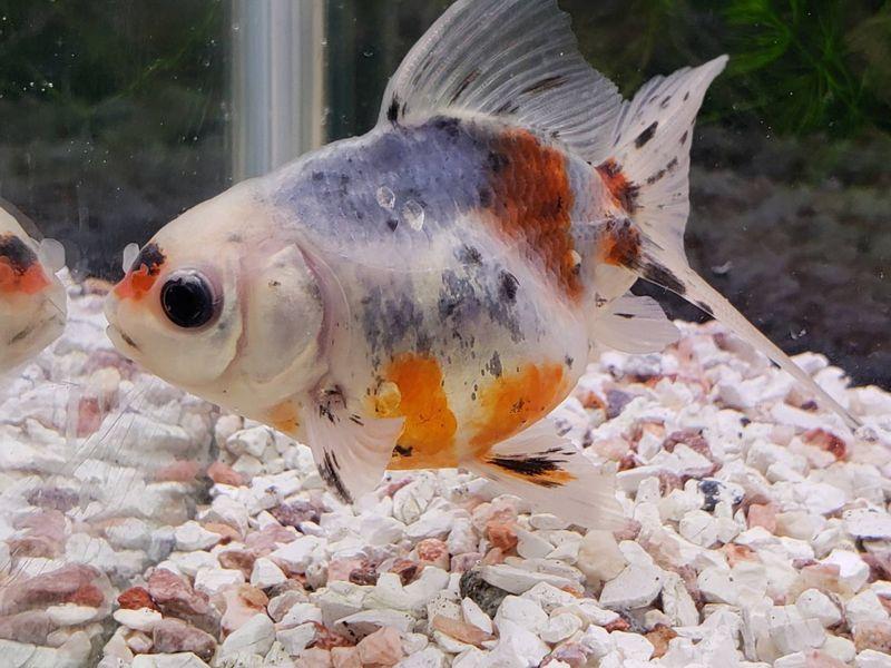 東錦 7から8cm前後 1匹/金魚 生体 モザイク透明鱗 埼玉産 平賀養魚場産 淡水 肉瘤あまり出ていないタイプ