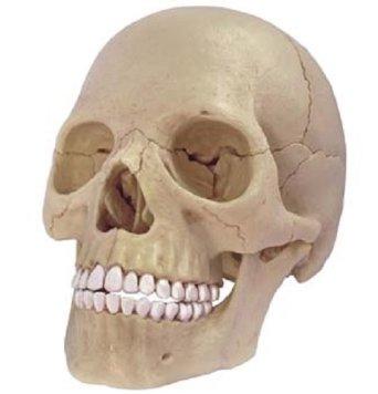 立体パズル 4D VISION 人体解剖 No.23 1/2 頭蓋骨解剖モデル 青島文化教材社
