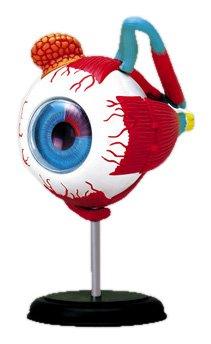 スカイネット 立体パズル 4D VISION 人体解剖 No.02 眼球解剖モデル 青島文化教材社