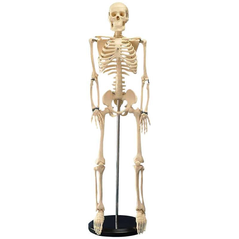 【代引不可】人体模型シリーズ 人体骨格模型85cm「他の商品と同梱不可/北海道、沖縄、離島別途送料」