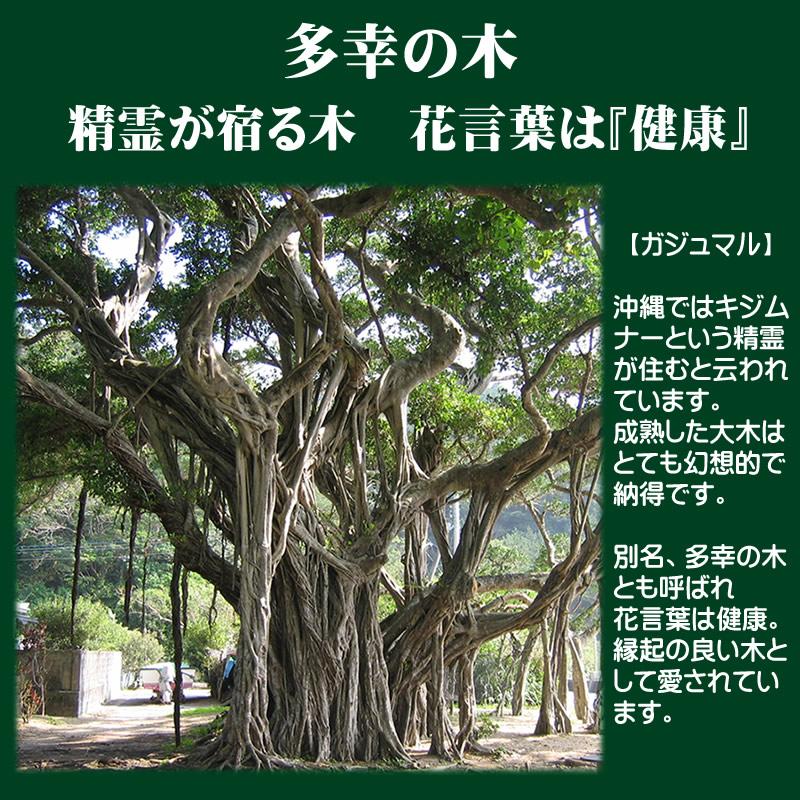 木 ガジュマル の