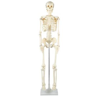 アーテック:人体骨格模型 85cm 8850