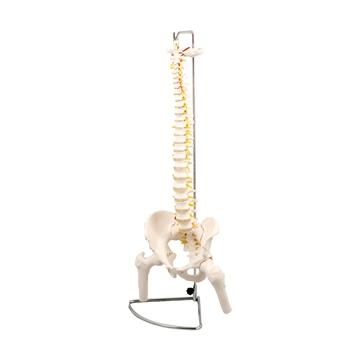 アーテック:脊柱模型 大腿骨付 9710