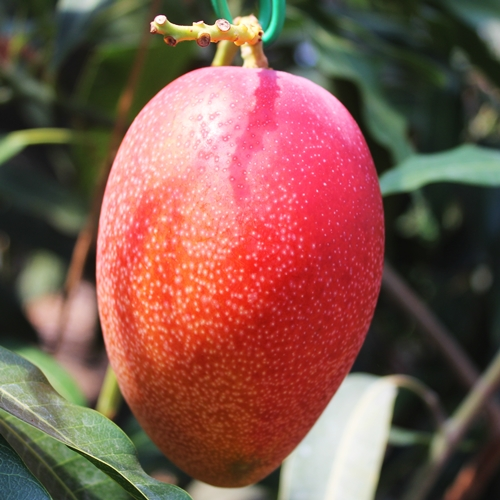 how to know if apple mango is ripe