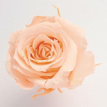 9輪入りプリザーブドローズ いずみ ローズ いずみ約3.5~4.5cmφ クリーミーピーチ 9輪入り ランキング入り プリザーブドローズ 販売期間 限定のお得なタイムセール プリザーブドフラワー 新商品 新型 Preserving 大地農園 花材 花資材