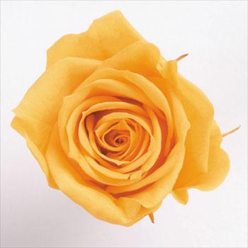 9輪入りプリザーブドローズ いずみ ローズ いずみ約3.5~4.5cmφ フルーティオレンジ 9輪入り Preserving プリザーブドフラワー プリザーブドローズ 日本正規代理店品 大地農園 花資材 日本 花材