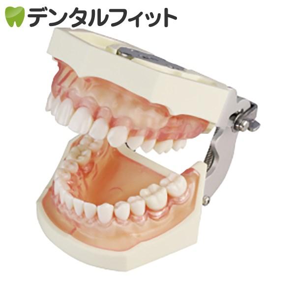 【送料無料】SRP用顎模型【P15FE-206H.2(GSE)-MF】(歯科指導用にも使われる歯型模型です)