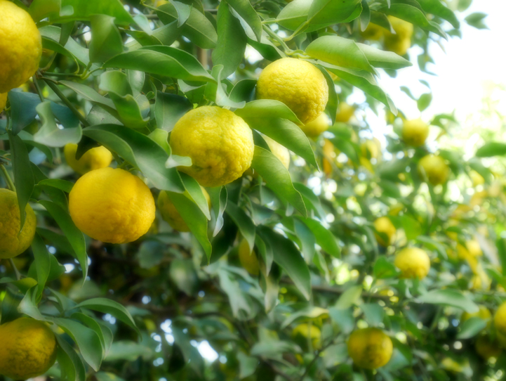 Yuzu scented 960 g Ehime Prefecture produced without additives colorant