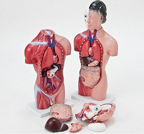 あす楽 内臓人体模型女性or男性44cm[JK-4325][JK-4332]