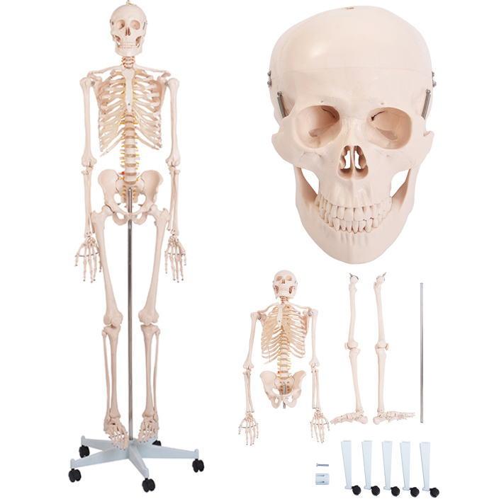 等身大ガイコツ人体模型全身165cm 標本