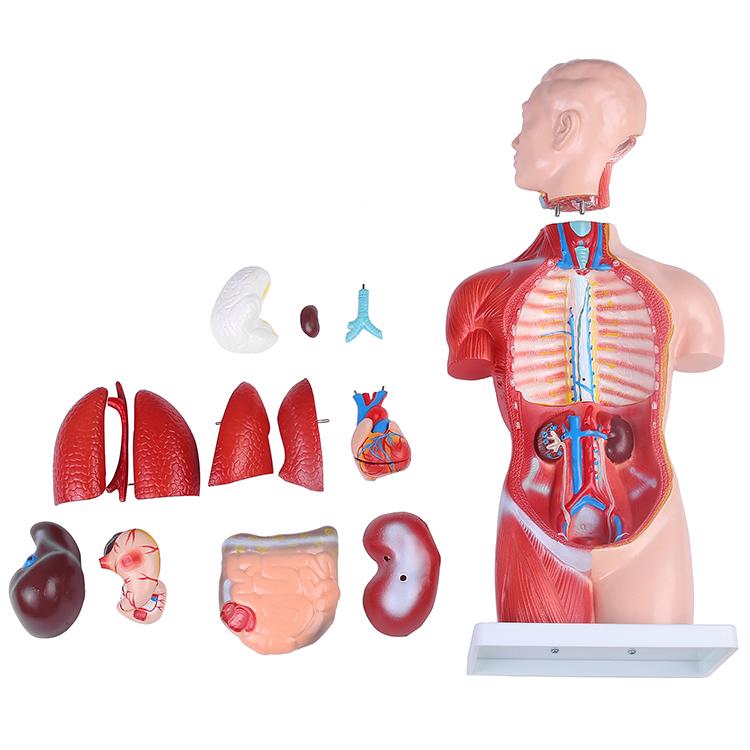 人体模型GX-207 お腹と背中が見える内臓模型 高さ45cm ユニセックスタイプ 17パーツ取り外し可 [JK-5278]