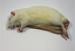 富城物産 冷凍 アダルトラット Lサイズ(約180g~220g) 30匹<冷凍クール便配送> 爬虫類 猛禽類 肉食魚 哺乳類 ヘビ トカゲ フクロウ ハリネズミ【TOMI】