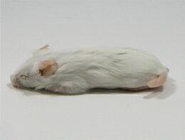 富城物産 冷凍 ファジーマウス Sサイズ(約5cm/9g) 100匹<冷凍クール便配送> 爬虫類 猛禽類 肉食魚 哺乳類 ヘビ トカゲ フクロウ ハリネズミなどに【TOMI】