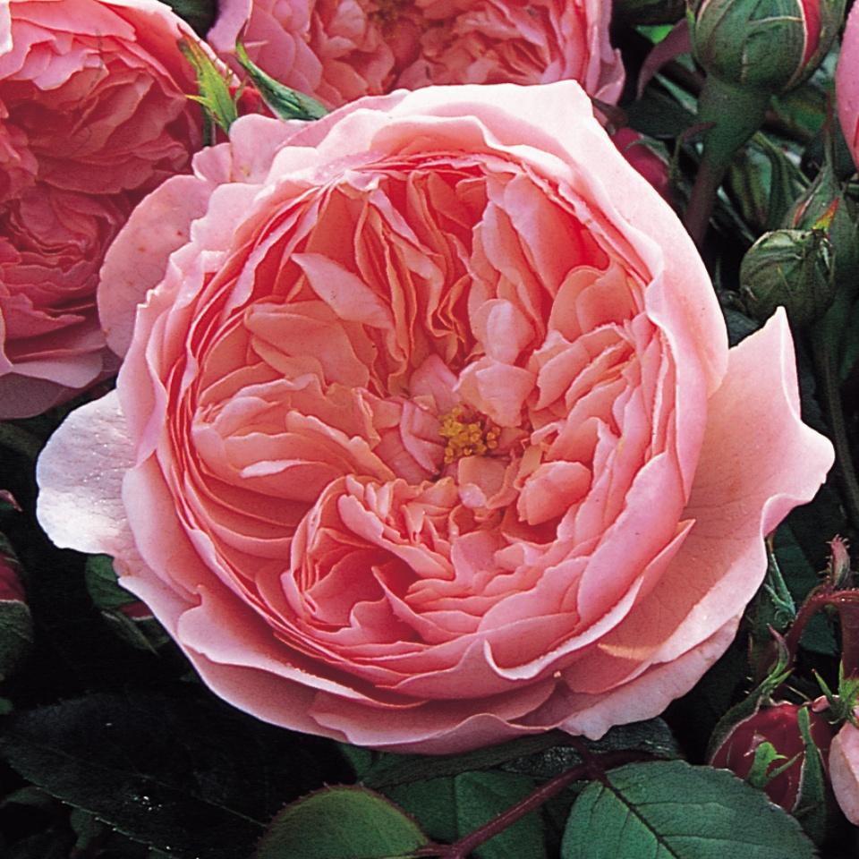 大人気! ジ アレンウィック ローズ 裸苗 - Rose 初売り The Ausgrab Alnwick