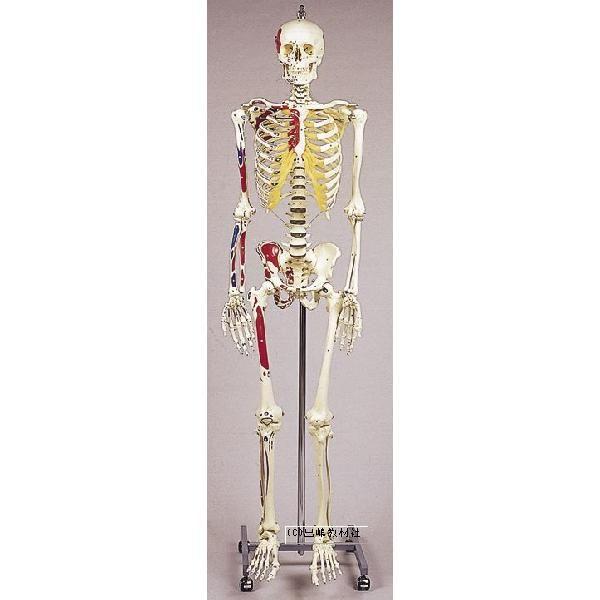 人体骨格模型 男子