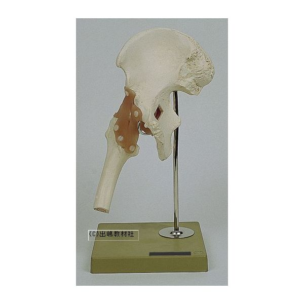 股関節の機能像