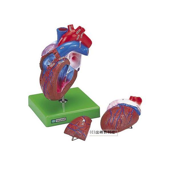 心臓の構造模型