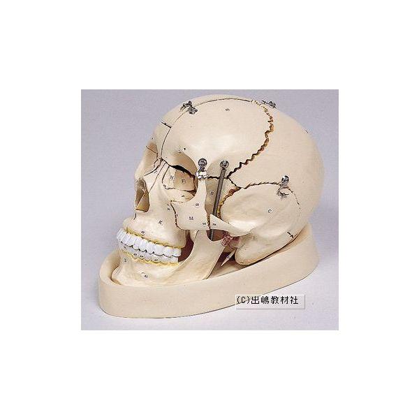 頭骨分解模型
