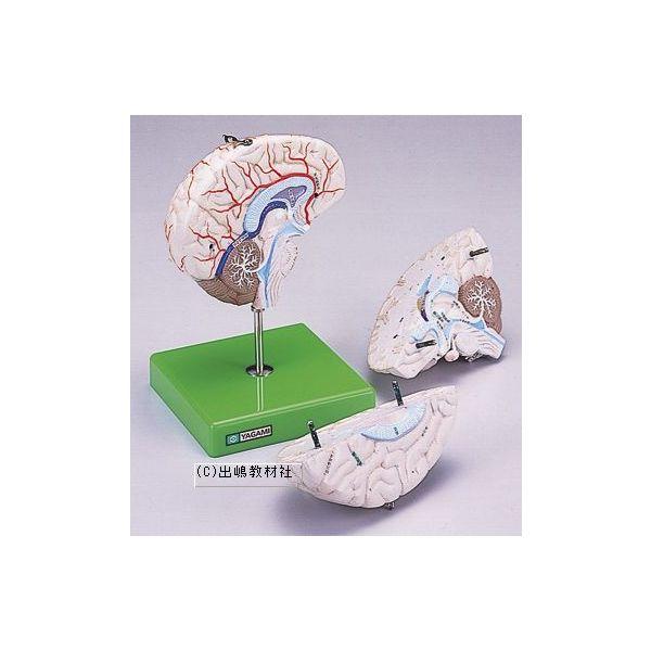 脳解剖模型 3分解