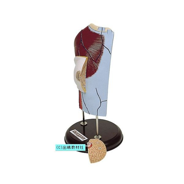 乳房解剖模型