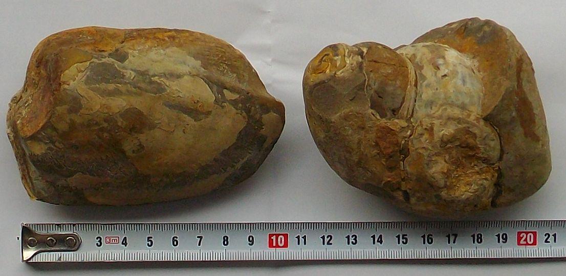 【中古】朝鮮咸鏡鉄道第14工区古站峠トンネル発掘の二枚貝化石・巻貝化石