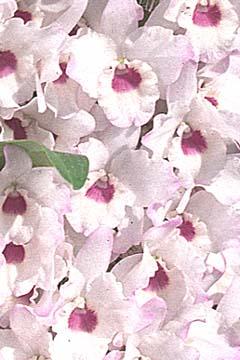 dendorobyumu苗Den.Himezakura`Sanokku'himezakura`sanokku'