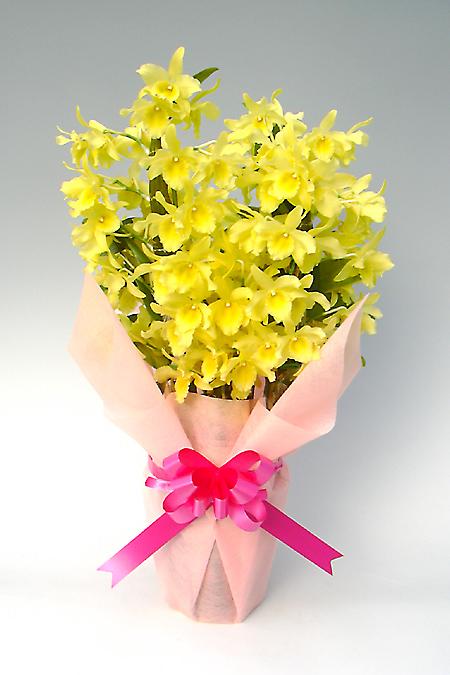 Dendro Special Dendrobium No 45 Bowl Yellow Song Candy