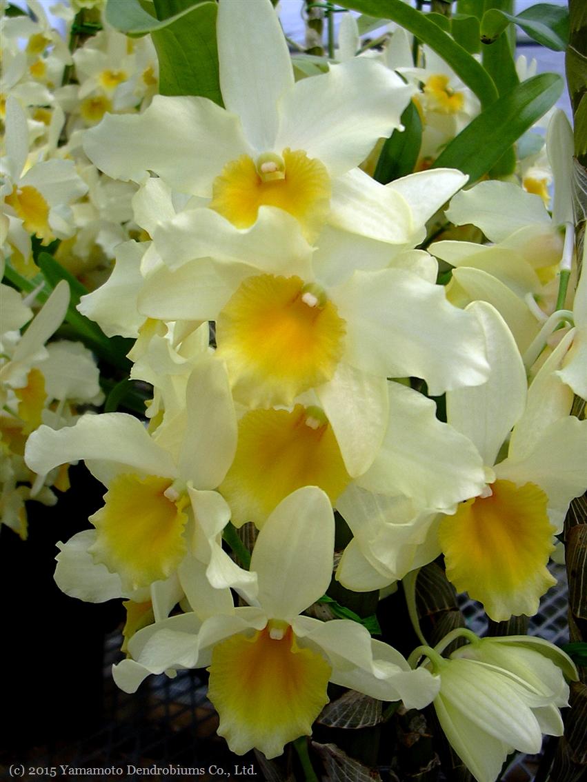 Dendro rakuten global market dendrobium seedlings den yellow yellow song lemon cake yellow song lemon mightylinksfo