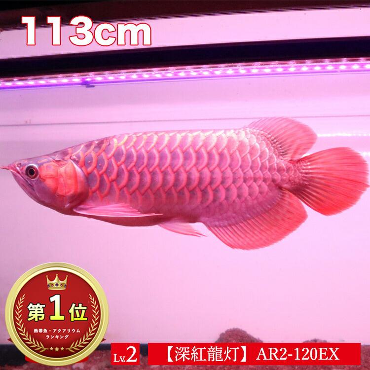 アロワナ ライト 紅龍 120cm水槽用 深紅龍灯 スーパーレッド レベル2 EX LED 2列 水中 照明 水中蛍光灯 アクアリウム 熱帯魚 アジアアロワナ ディスカス でんらいAR2-120-EX