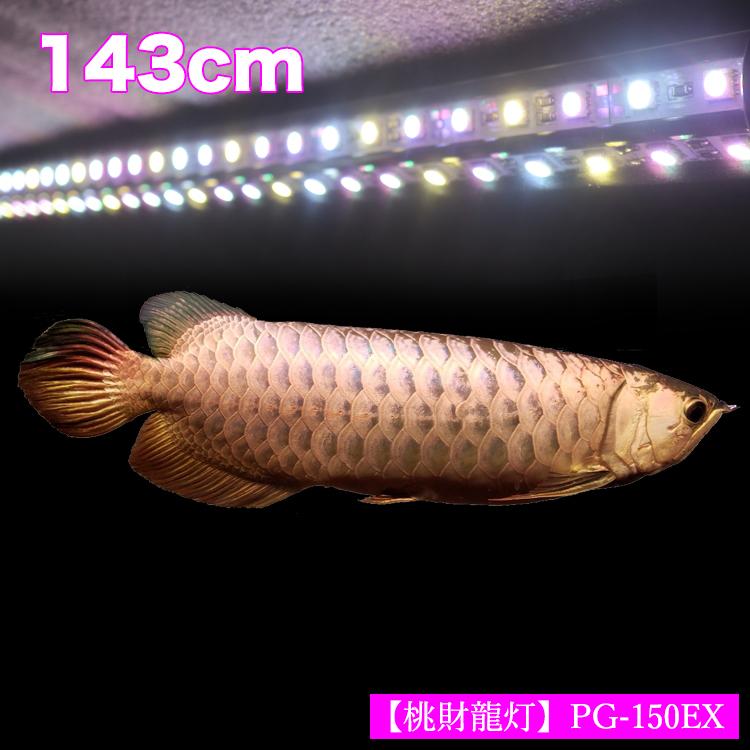 アロワナ ライト 金龍 過背金 150cm水槽用 桃財龍灯 ピンクゴールド EX LED 2列 水中 照明 水中蛍光灯 アクアリウム 熱帯魚 アジアアロワナ ディスカス でんらいPG150-EX