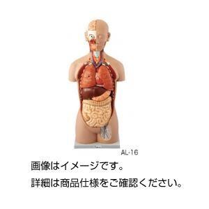 その他 人体解剖模型 AL-16 ds-1591742