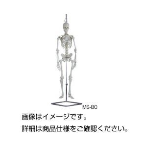 その他 人体骨格模型 MS-80 ds-1591744