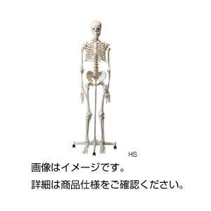 その他 人体骨格模型 HS ds-1591745